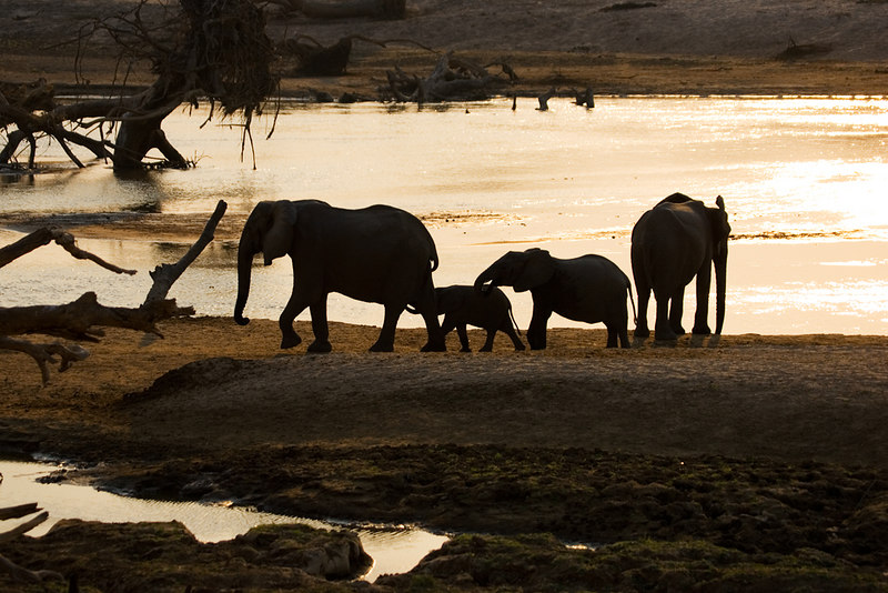 Elephants in the Luangwa river