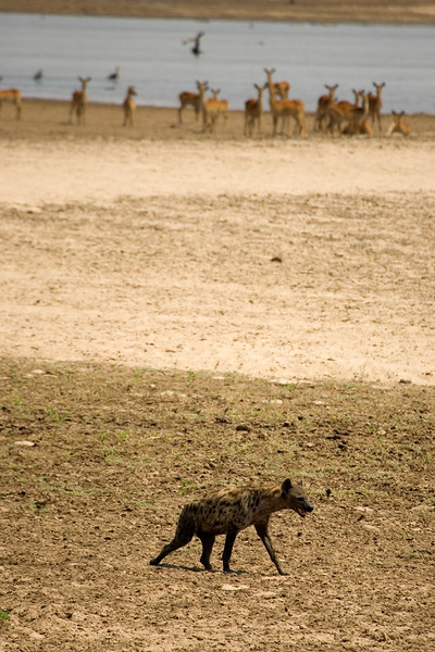 Hyena with watchful impala