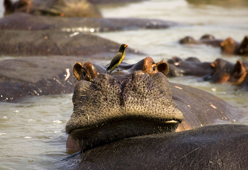 Hippo and ox pecker friend