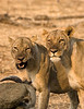 Lionesses at Buffalo kill