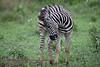 Zebra colt Kruger Park South Africa
