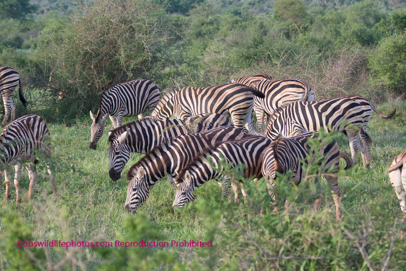 Large group of zebra taken in Kruger. Kruger Park South Africa