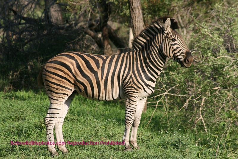 Full side view of zebra taken in Kruger. Kruger Park South Africa
