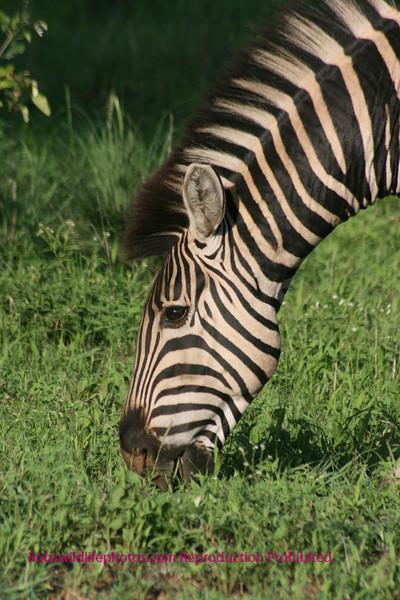 Head shot Kruger Park South Africa
