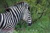 All zebra have unique markings, just like a finger print. Kruger Park South Africa