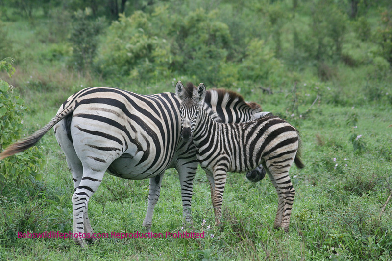 Zebra with colt Kruger Park South Africa