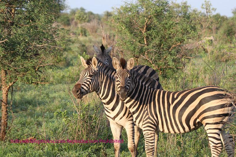 Small group of zebra taken in Kruger. Kruger Park South Africa
