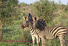 Small group of zebra taken in Kruger. Kruger Park South Africa