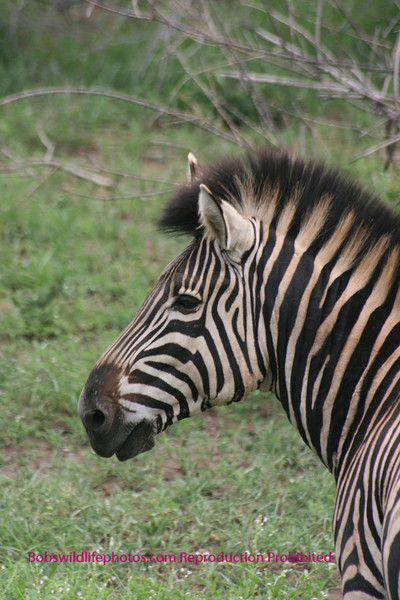 Zebra profile Kruger Park South Africa
