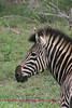 Zebra profile Kruger Park South Africa