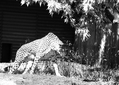 CO 2009 Denver Zoo 0618 (6) bw