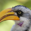 Yellow-billed Hornbill at the Brevard Zoo
