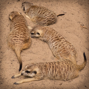 Happy Meerkut family - Riverbanks Zoo, Columbia, SC