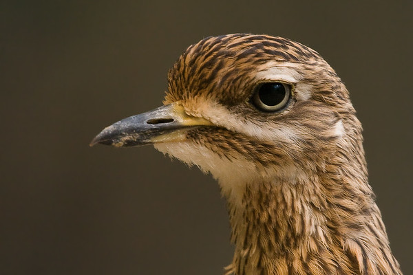 Cape Thick-Knee Head Potrait - Milwaukee Zoo, WI