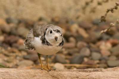Piping Plover Chick - Milwaukee Zoo, WI