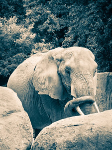 Elephant in Cool Tinted B&W - Riverbanks Zoo, Columbia, SC