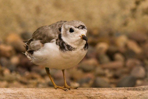 Piping Plover Chick - Milwaukee Zoo, Milwaukee, WI