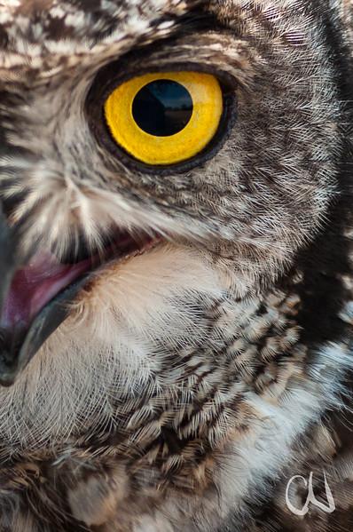 Nahaufnahme Auge, Fleckenuhu, Afrikanischer Uhu, Spotted Eagle Owl, Captive, Bubo africanus, VULPRO rehabilitation center for wild raptors, raptor conservation, Eule, Vogel, Südafrika, South Africa