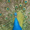 Who is the fairest in that land?, Wer ist der Schönste im ganzen Land?, peacock, captive, Pfau, Pfauenrad, Wilhelma, Zoo, Stuttgart, Germany, Deutschland