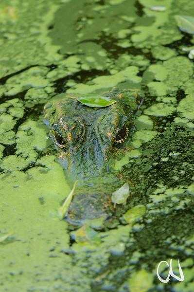 Krokodil im Wasser, Captive, Dwarf Crocodle, Stumpfkrokodil, Osteolemus tetraspis, Jungtier, Crocodile Center, St. Lucia, KwaZulu-Natal, Südafrika, Greater St. Lucia Wetland Park, South Africa
