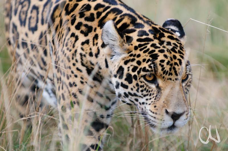 Jaguar, Panthera onca, captive, Rhino and Lion Nature Reserve, Krugersdorp, Südafrika