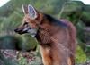 Maned Wolf - Edinburgh Zoo