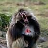 Baboon - Edinburgh Zoo