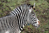 Grevy's Zebra -  Edinburgh Zoo