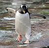 Penguin - Edinburgh Zoo