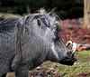 Warthog - Edinburgh Zoo