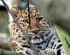 Jaguar - Edinburgh Zoo