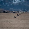Carson Valley Eagles 2013-02 : Driving along Hwy-88 several bald eagles were seen eating on what looked like a dead calf.