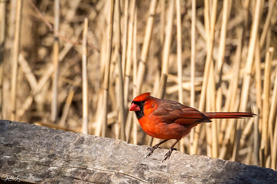Cardinal, Morton NWR, Long Island