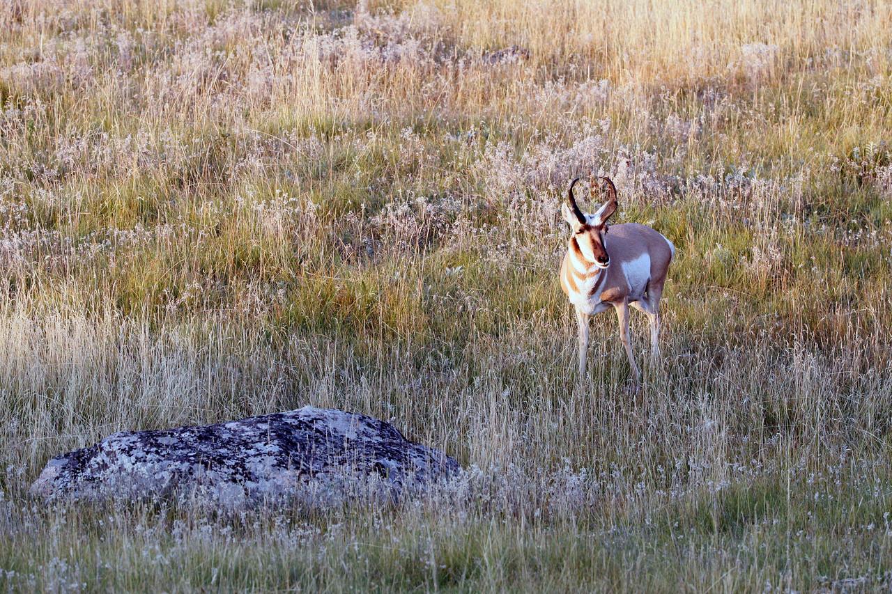 Pronghorns - near Lamar River, Yellowstone National Park