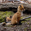 Red Fox Kits 5/3/20