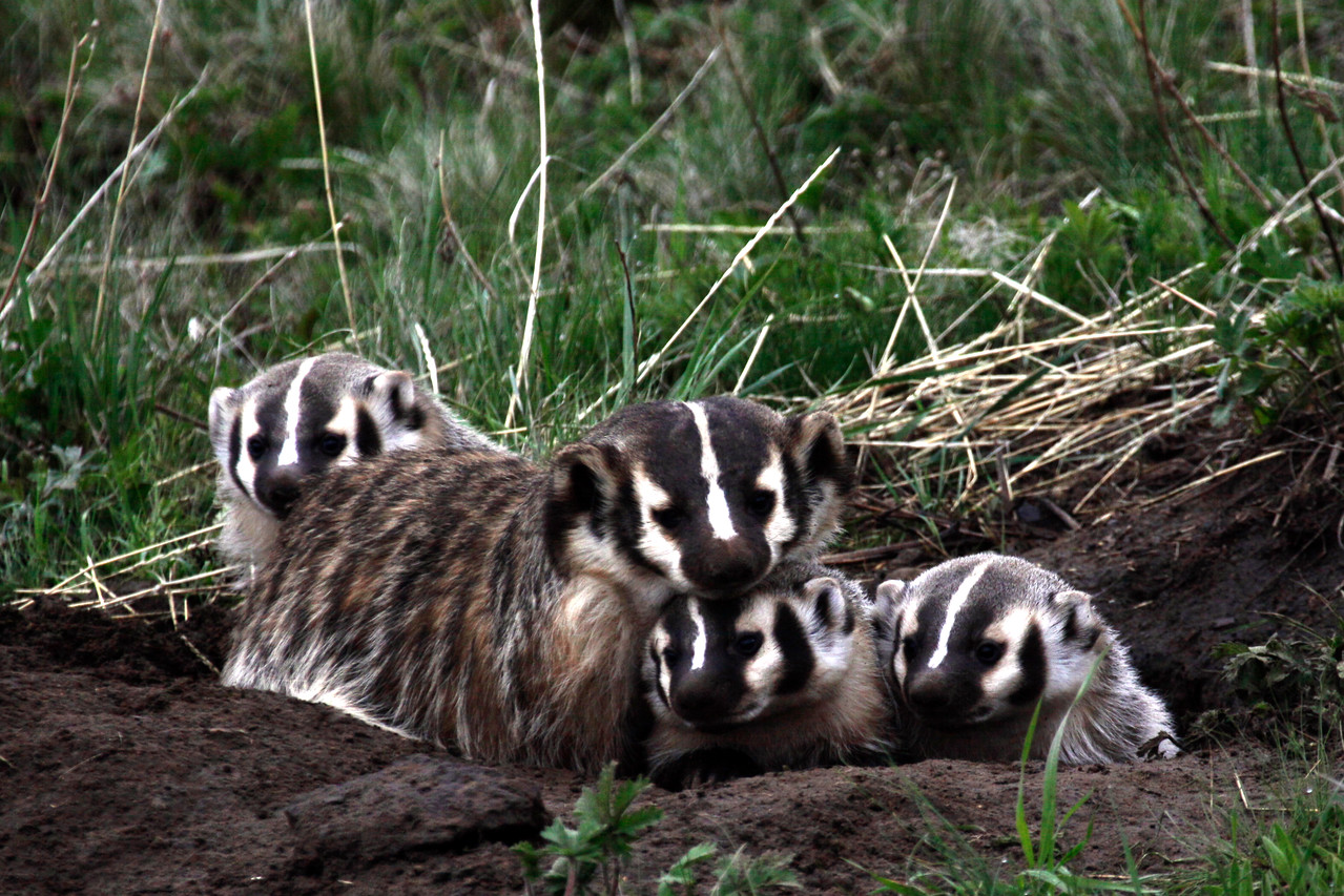 Badger Family - Yellowstone National Park