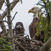 Bald Eagle and Eaglet in Nest 5/17/16