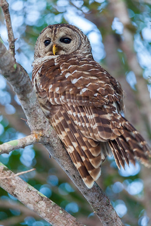 Barred Owl Watching