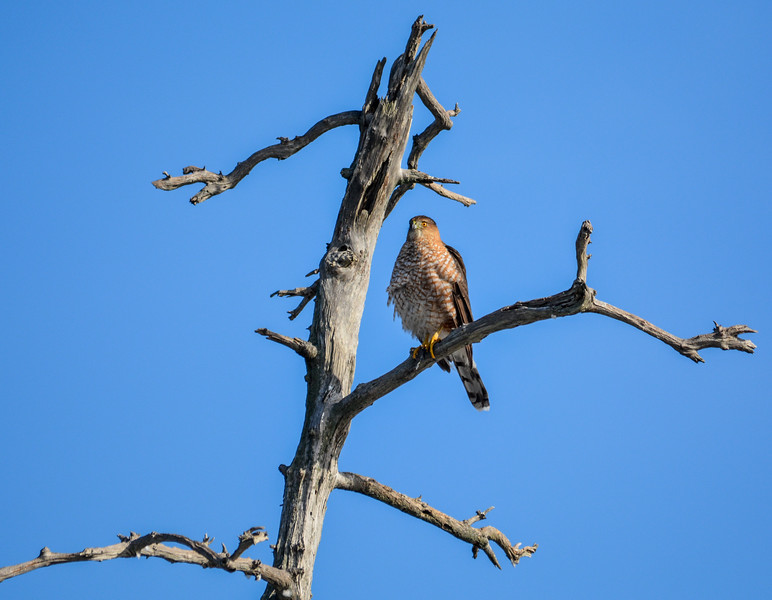 Hawk Perched