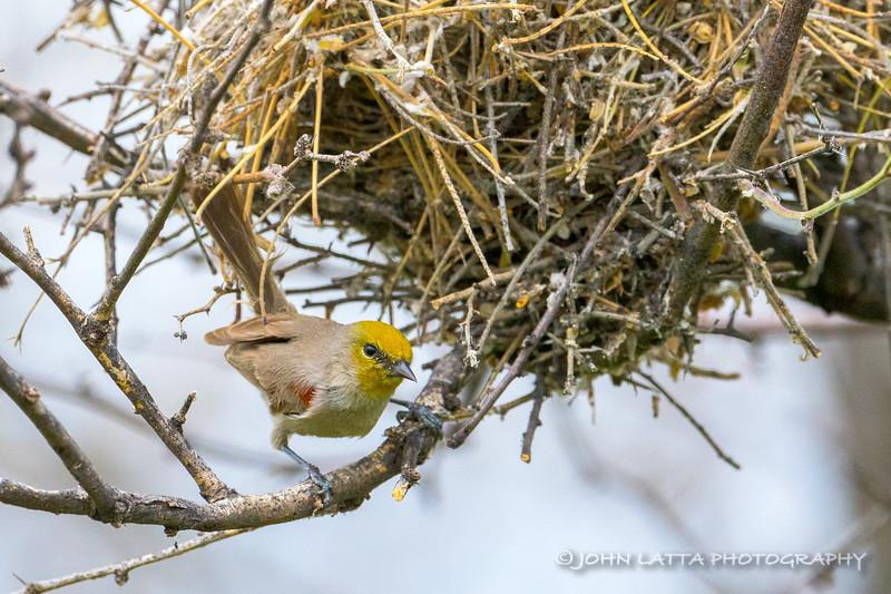 Male Verdin at Nest