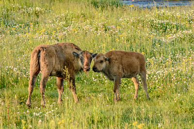 """Red Dogs"" of Yellowstone"