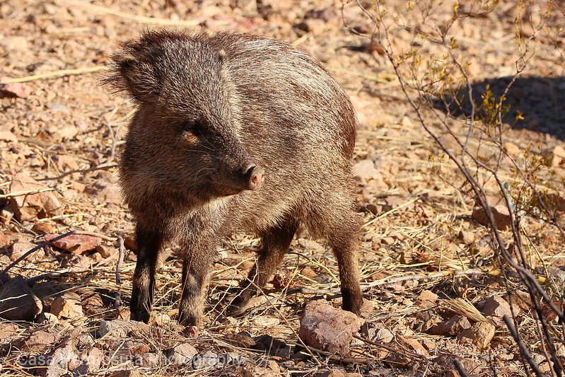 Collared Peccary/Javalina; Tucson Mountain Park, Arizona