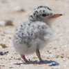 A Least Tern Chick 6/15/16