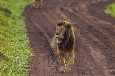 Lion on cold morning