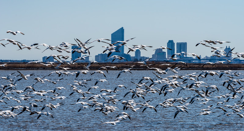 Snow Geese In Flight with Atlantic City Skyline 2/27/18