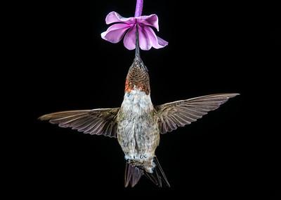 Ruby-throated Hummingbird 8