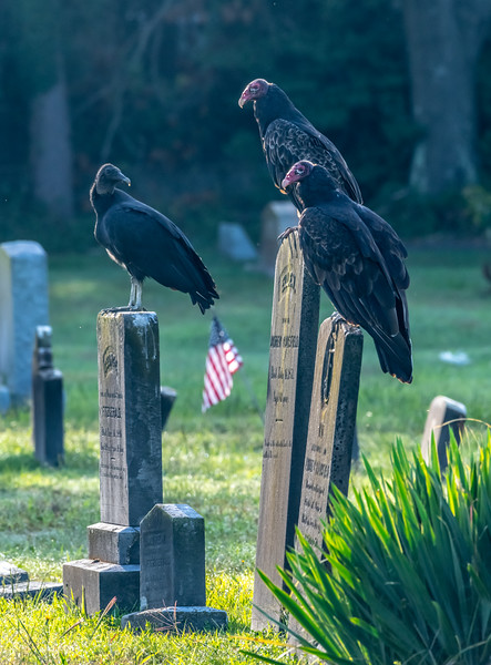 Turkey Vultures Perched On Gravestones 8/31/19