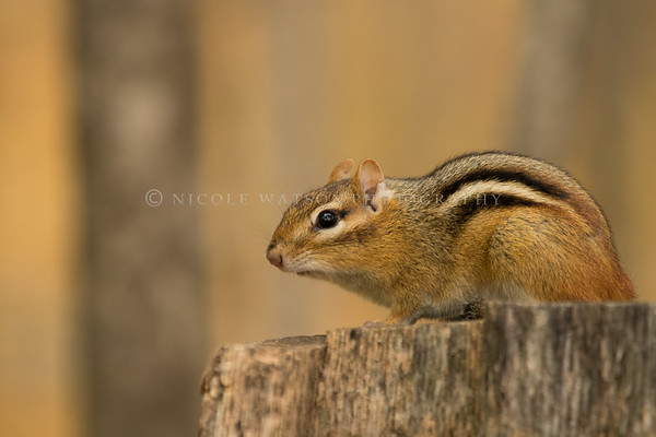 Chipmunk on a stump
