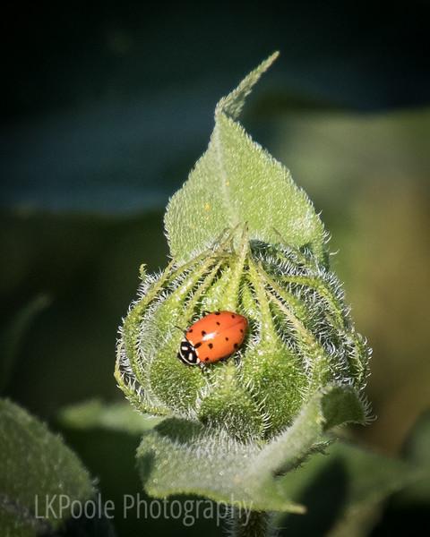 Ladybug on Bud