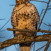 Red-Tail Hawk 2/4/17